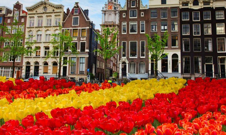 Tulips, Amsterdam
